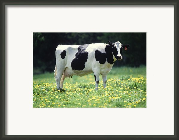 Cow In Pasture Framed Print By Science Source