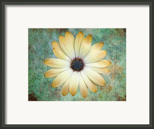 Cream Coloured Daisy Framed Print By Chris Thaxter
