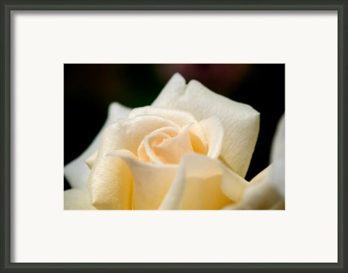Cream Rose Kisses Framed Print By Lisa Knechtel