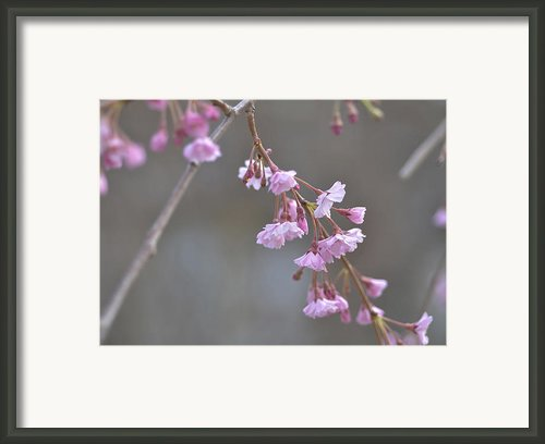 Crepe Myrtle Framed Print By Lisa  Phillips