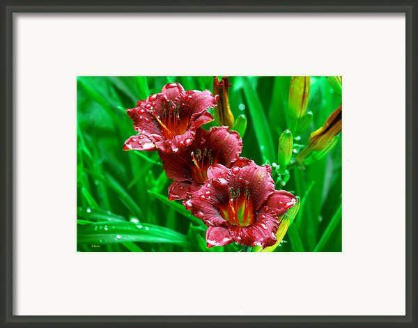 Crimson Lilies In April Shower Framed Print By Lisa  Spencer