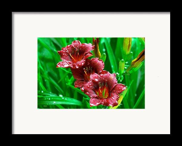 Crimson Lilies In April Shower Framed Print By Lisa  Spencer
