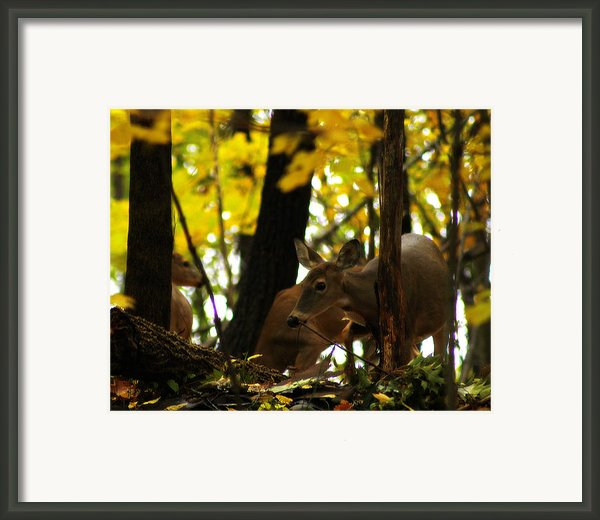 Curious Doe Framed Print By Scott Hovind