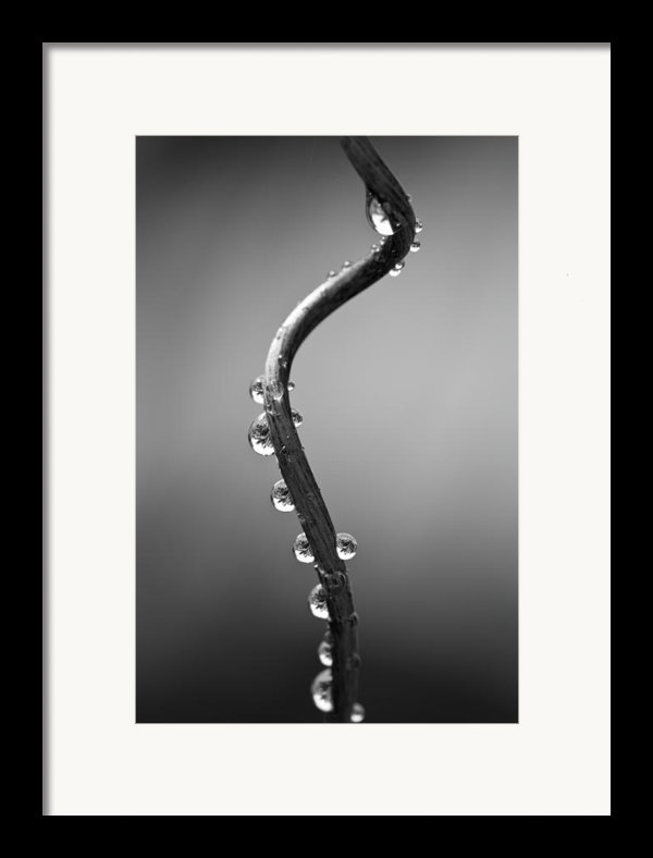 Curly Vine Framed Print By Anya Brewley Schultheiss