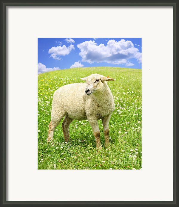 Cute Young Sheep Framed Print By Elena Elisseeva