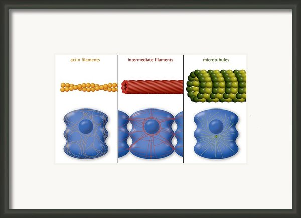 Cytoskeleton Components, Diagram Framed Print By Art For Science