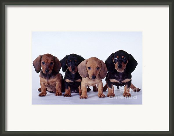 Dachshund Puppies  Framed Print By Carolyn Mckeone And Photo Researchers