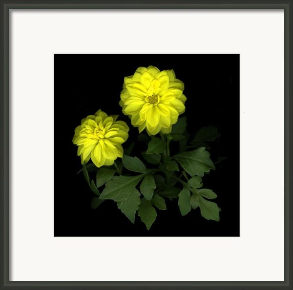 Dahlia Framed Print By Christian Slanec