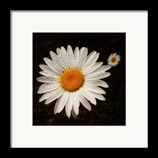 Daisy Dew Framed Print By Steve Garfield