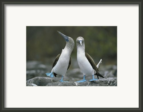 Dancing Blue-footed Boobies Framed Print By Tui De Roy