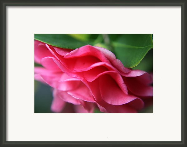 Dancing Petals Of The Camellia Framed Print By Enzie Shahmiri