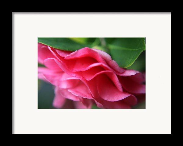 Dancing Petals Of The Camellia Framed Print By Enzie Shahmiri