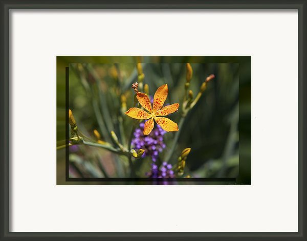 Day Lilly 46 Framed Print By Charles Warren