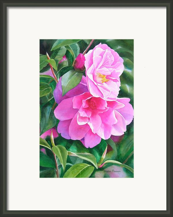 Deep Pink Camellias Framed Print By Sharon Freeman