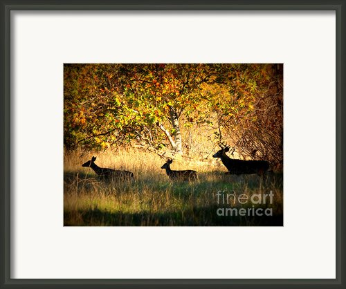 Deer Family In Sycamore Park Framed Print By Carol Groenen