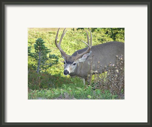Deer Without Headlights Framed Print By Silvie Kendall