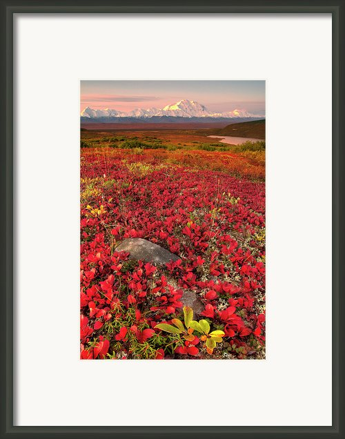 Denali National Park Fall Colors Framed Print By Kevin Mcneal