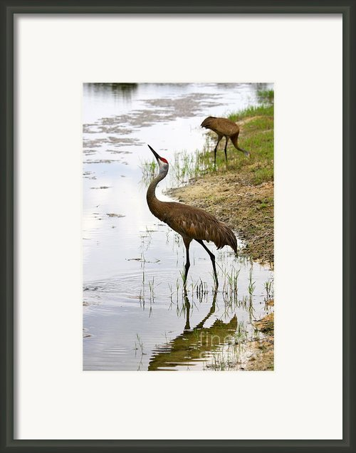 Dip In The Pond Framed Print By Carol Groenen