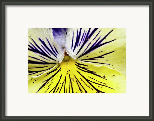 Dirty Pansy Framed Print By Jennifer Smith
