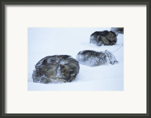 Dogs Sleep In Blizzard On Frozen Ocean Framed Print By Gordon Wiltsie