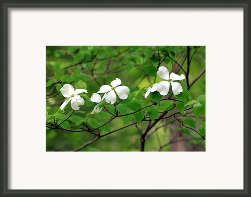 Dogwoods Framed Print By Deborah  Crew-johnson