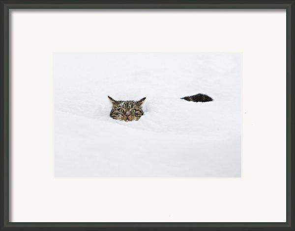 Domestic Cat Felis Catus In Deep Snow Framed Print By Konrad Wothe