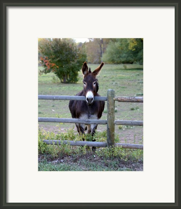 Donkey At The Fence Framed Print By D Winston