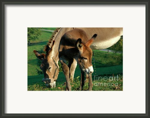 Donkey With Foal Framed Print By Thomas R Fletcher