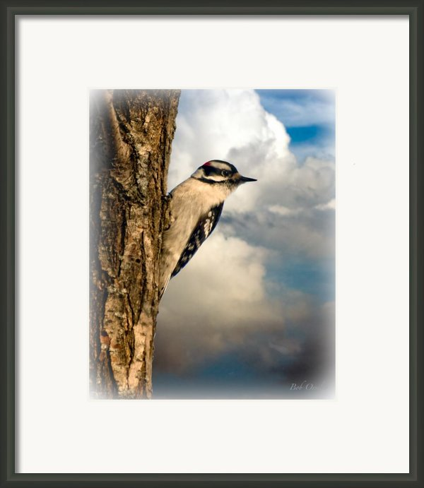 Downy Woodpecker Framed Print By Bob Orsillo