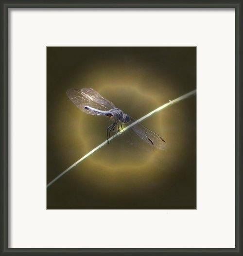 Dragonfly 1 Framed Print By Judith Szantyr