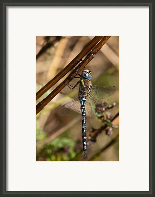 Dragonfly Framed Print By Gert Lavsen