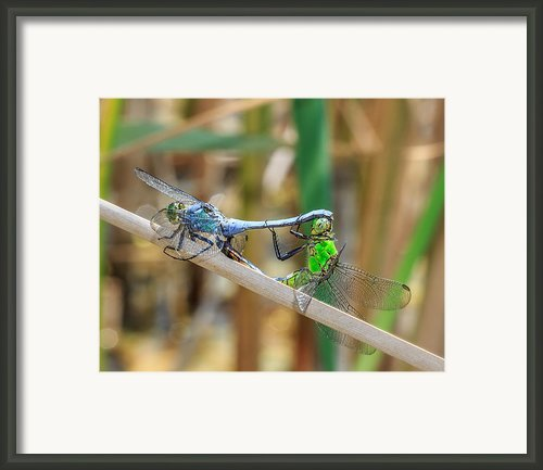Dragonfly Love Framed Print By Everet Regal