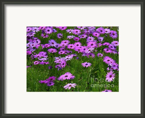 Dreaming Of Purple Daisies  Framed Print By Carol Groenen