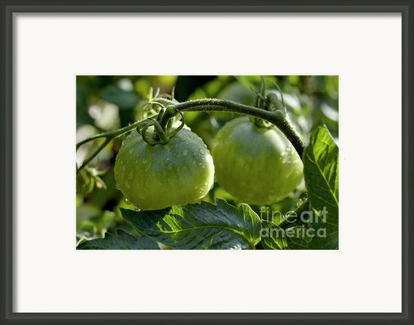 Drops On Immature Green Tomatoes After A Rain Shower Framed Print By Sami Sarkis