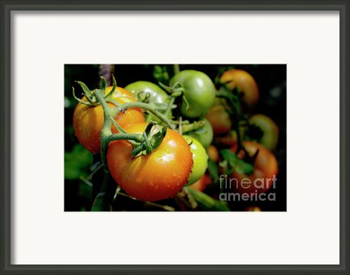 Drops On Immature Red And Green Tomato Framed Print By Sami Sarkis