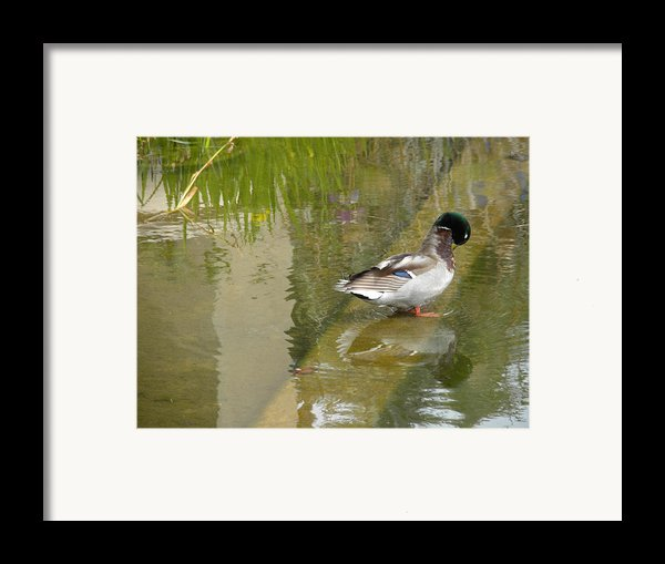 Duck On A Ledge Framed Print By Silvie Kendall