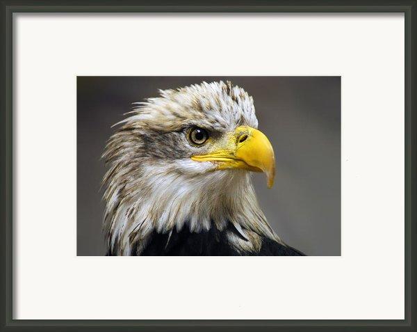Eagle Framed Print By Harry Spitz