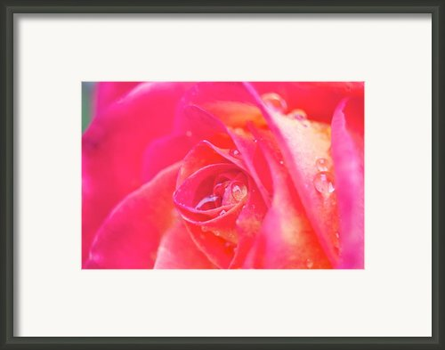 Early Morning Rose Framed Print By Ashley Balkan