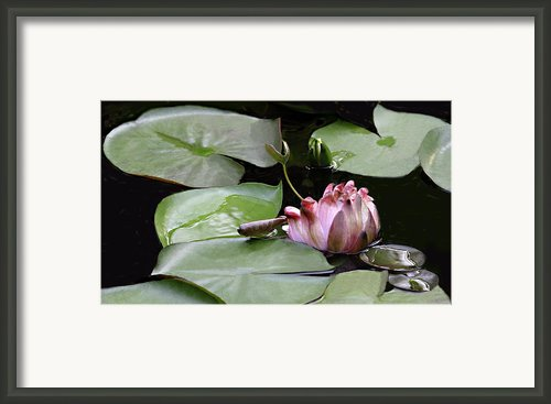 Early Spring Opening Water Lily Framed Print By Linda Phelps