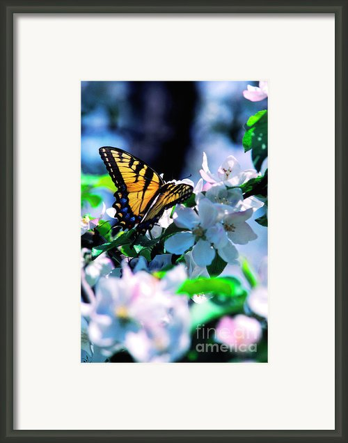Eastern Tiger Swallowtail Framed Print By Thomas R Fletcher