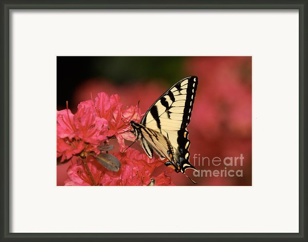 Eastern Yellow Tiger Swallowtail And Azaleas Framed Print By Lara Ellis