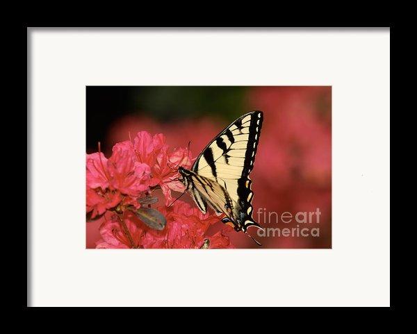 Eastern Yellow Tiger Swallowtail And Azaleas Framed Print By Lara Ellis