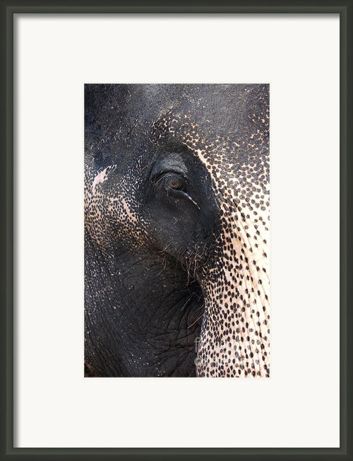 Elephant Framed Print By Jane Rix