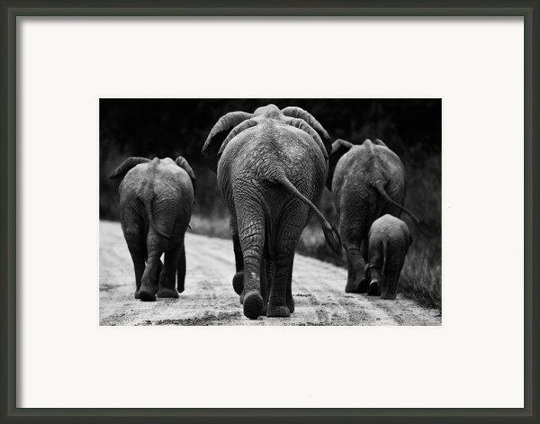 Elephants In Black And White Framed Print By Johan Elzenga
