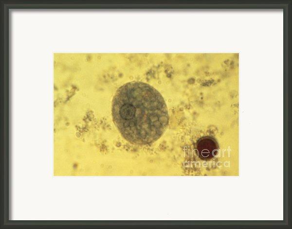 Entamoeba Histolytica Lm Framed Print By Eric V. Grave
