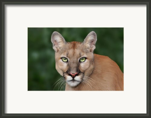 Enya Framed Print By Big Cat Rescue