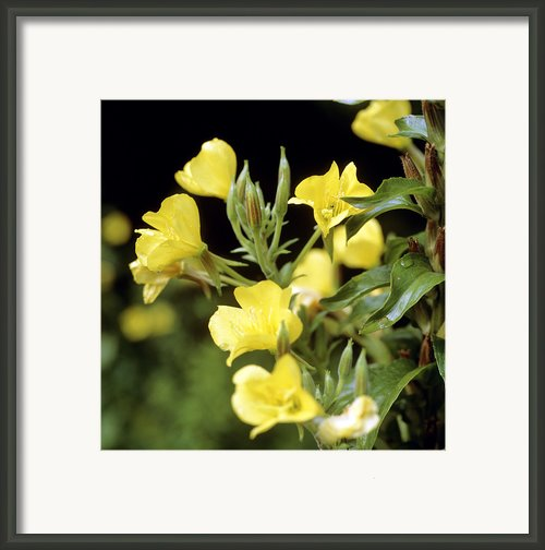 Evening Primroses (oenothera Sp.) Framed Print By Cristina Pedrazzini