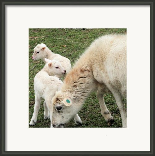 Ewe And Lambs Framed Print By Carolyn Postelwait