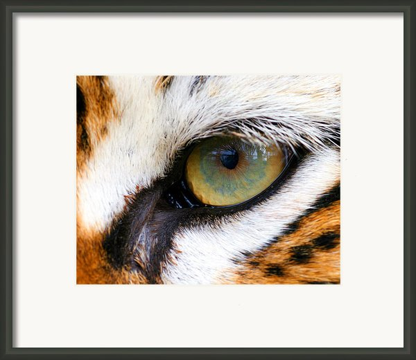 Eye Of The Tiger Framed Print By Helen Stapleton