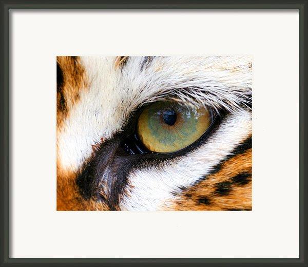 Eye Of The Tiger Framed Print By Helen Stapleton